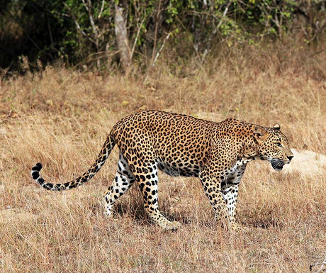 Yala leopards